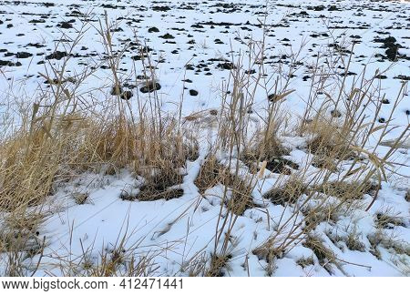 Herbaceous Plants, Field And Snow Dried On The Snow,