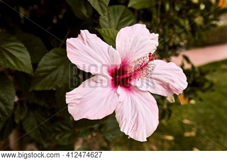 Close-up Of A Blooming Pink Hibiscus Flower With A Large Stamen. Spring Flower.