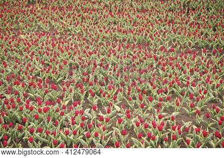 Good Plant. Nature Beauty And Freshness. Growing Tulips For Sale. Plenty Of Flowers For Shop. Tulip