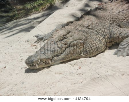 Crocodile in safari park in Spain. Taken in July 2008. poster