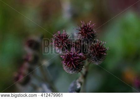 Defocus Group Globe Burgundy Thistle Flowers Grass Wild On Green Background. Globe-thistle Flower Co