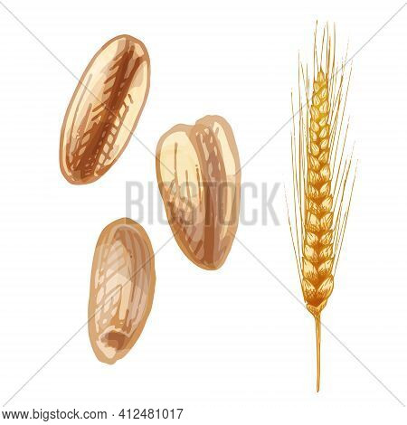 Ears With Grain Of Wheat. Vector Color Vintage Hand Drawn Hatching Illustration Isolated On A White