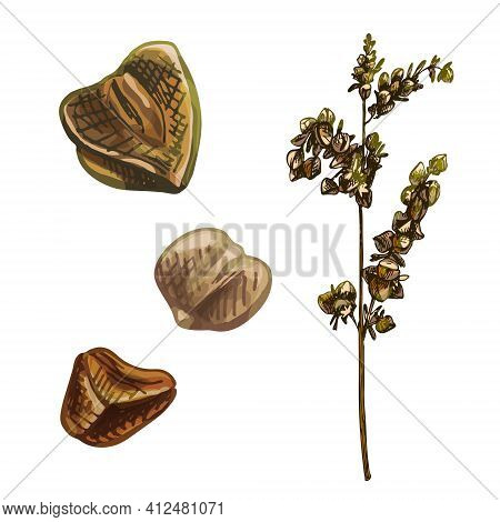 Ears With Grain Of Buckwheat. Vector Color Vintage Hand Drawn Hatching Illustration Isolated On A Wh