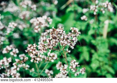 Fresh Oregano Or Origanum Vulgare Plant Flower Buds Close-up On Green Leaves Background, Horizontal