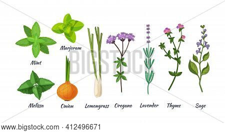 Culinary Herbs Set. Natural Culinary Herbs And Spices For Cooking, Eating, Food. Mint, Marjoram, Mel