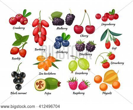Forest Berry And Fruit Plant. Juicy Fresh Berries Barberry, Lingonberry, Blueberry, Cherry, Blackber