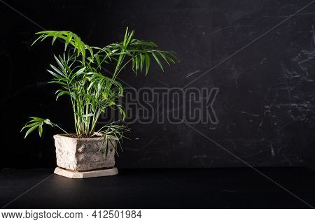 Decorative Palm Tree In A Flowerpot. Green Plant On A Black Background. A Screensaver With A Flowerp