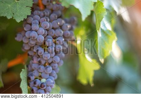 Ripe Blue Grapes Growing In Vineyard At Sunset Time, Selective Focus. Vineyards Grape At Sunset In A