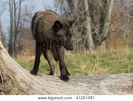 A Black wolf on a tree branch