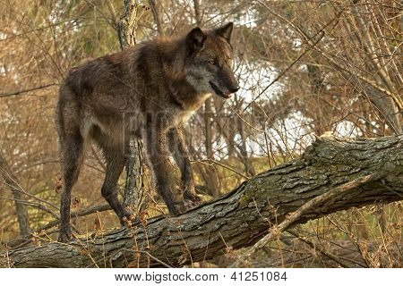 Wolf in A Tree