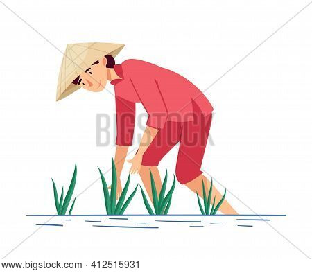 Vietnamese Woman Farmer In Straw Conical Hat Picking Rice Crop In Watery Ground Vector Illustration
