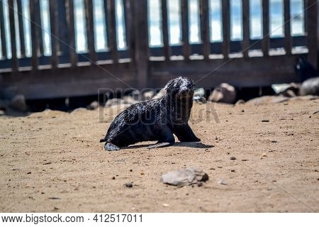 Baby Seal Near Cape Cross In Namibia