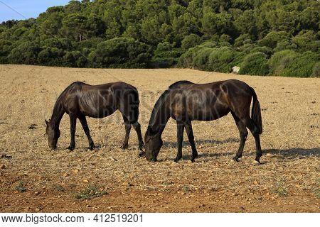 Es Migjorn Gran, Menorca / Spain - June 25, 2016: Horses In A Field Near Es Migjorn Gran, Menorca, B