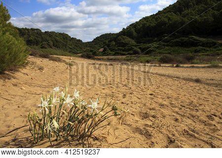 Sant Tomas, Menorca / Spain - June 25, 2016: The Dunes And Flowers Near Binigaus Beach, Sant Tomas,