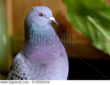 Feral Pigeons (columba Livia Domestica), Also Called City Doves, City Pigeons, Or Street Pigeons, Ar