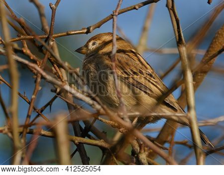 House sparrows can be found from the centre of cities to the farmland of the countryside, they feed and breed near to people. It is a species vanishing from the centre of many cities, but is not uncommon in most towns and villages.