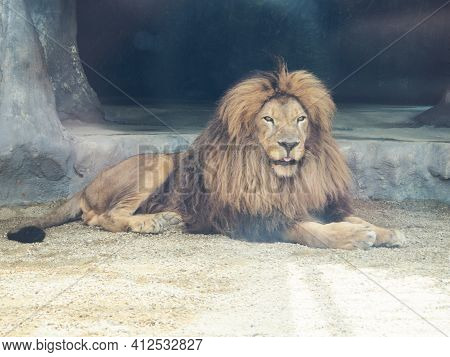 Beautiful Graceful Lion In Captivity, View Of A Male Lion In A Zoo, Nature Reserves