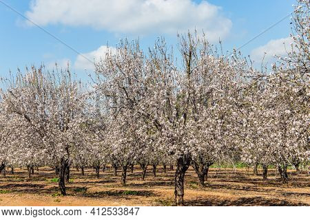 Early spring in Israel. Almonds have bloomed. Warm sunny february day. Blooming almond trees. Grove of almond trees in spring bloom. February