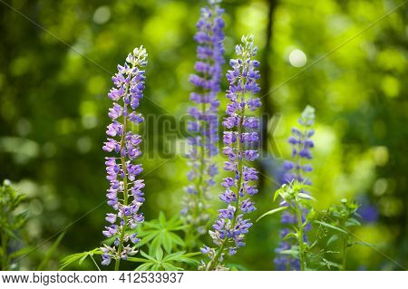 Blooming Lupine Flower. Lupine, A Field Of Lupine With Pink Purple And Blue Flowers. Bouquet Of Lupi