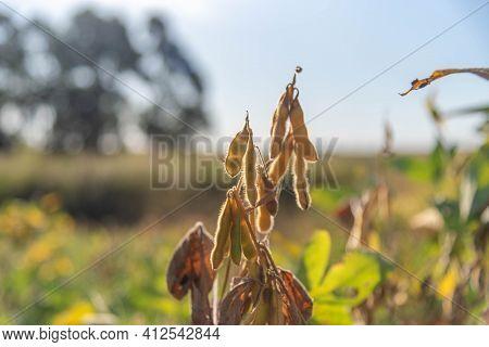 Soybean Plant Pod (glycine Max) Ready For Harvest