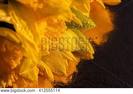Macro Of Water Droplets On Yellow Daffodils Buds. Close-up Of Beautiful Flowers Daffodils On A Refle