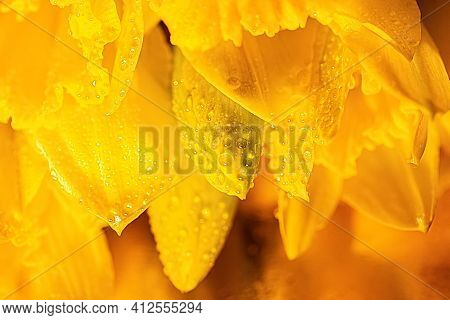 Close-up Of Water Droplets On Yellow Daffodils Buds In Dark Lighting. Beautiful Flowers Daffodils On