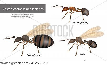 Caste Systems In Ant Societies. Type Of Ants. Social Structure