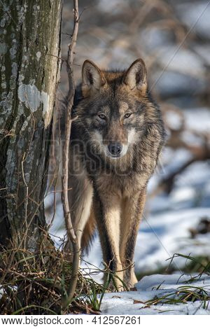 Wolf In The Forest Up Close. Wild Animal In The Natural Habitat