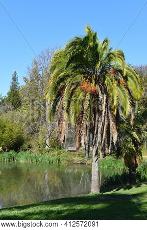 FULLERTON, CALIFORNIA - FEBRUARY 7, 2018: Fullerton Arboretum pond and palm. The 26-acre botanical garden features a collection of plants from around the world.