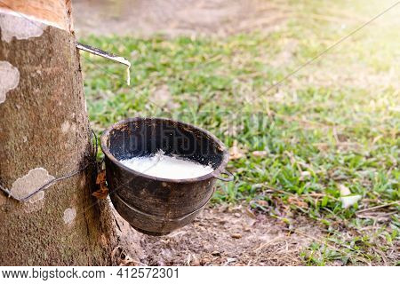Close-up Of A Rubber Tree And A Bowl Full Of Latex In A Rural Rubber Field At Sunrise. Black Plastic