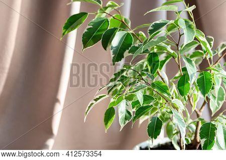 Indoor Plant Ficus Benjamin On A Beige Textile Background. Selective Focus. Close-up.