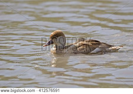 A Female Red-crested Pochard, Netta Rufina, Resting On The Water