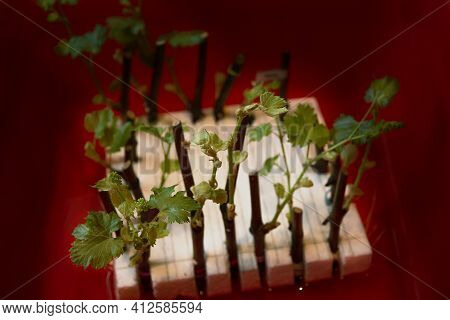 Grape Cuttings In The Photo. The Process Of Growing Vines. Cutting Grapes. New Sprouts On Grape Stem