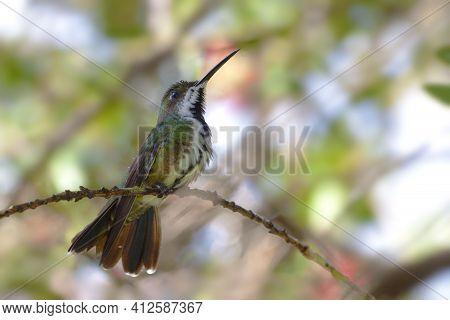 A Black-throated Mango, Anthracothorax Nigricollis, Cleaning Beak