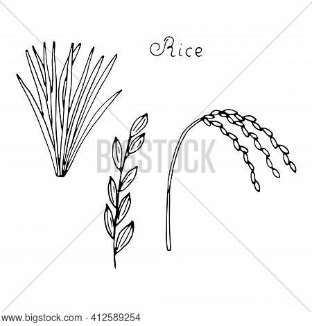 Rice Plant Leaves And Spikelets Vector Doodle Illustration Hand Drawing Sketch