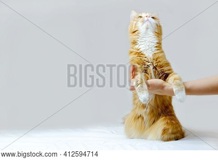 Ginger Cat Sitting On Its Hind Legs And Holds Human Hand On Grey Background. Copy Space.