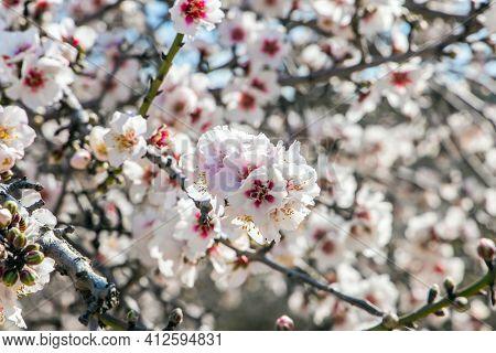 Blooming branches of almonds. White and pink almond flowers decorate the trees. Almond trees are covered with beautiful white and pink flowers. Early spring in Israel.