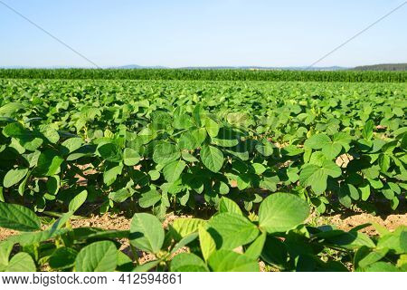 Growing green soybeans plant on field. Soy plantation.