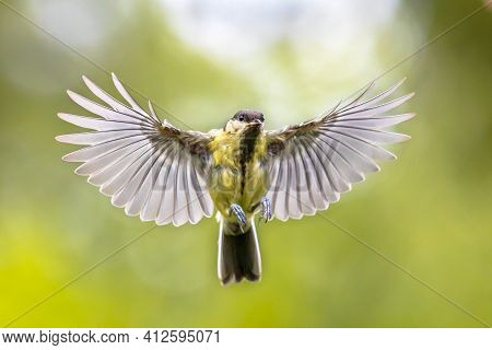 Bird In Flight. Great Tit (parus Major) Frontal View  Just Before Landing With  Stretched Wings And