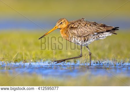 Black-tailed Godwit (limosa Limosa) Wader Bird Walking In Shallow Water Of Wetland And Looking In Th