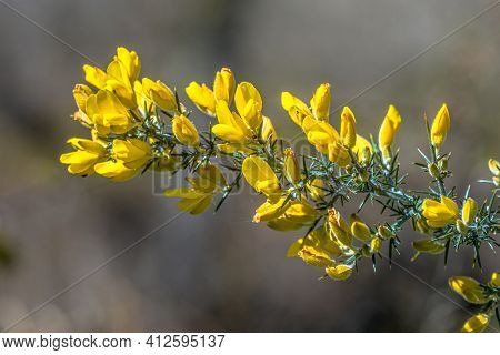 Common Gorse (ulex Europaeus) Blooming With Yelow Flowers In Spring. This Plant Is Native To Europe