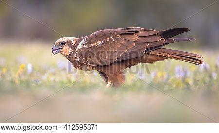 Marsh Harrier (circus Aeruginosus) Side View Close Up Of Female Raptor In Spanish Pyrenees, Vilagras