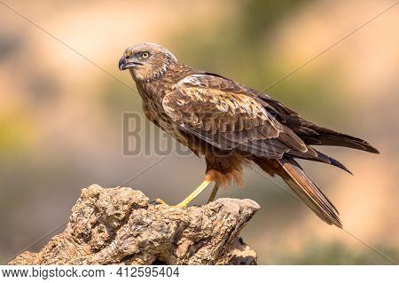 Marsh Harrier (circus Aeruginosus) Male Juvenile Raptor On Log In Spanish Pyrenees, Vilagrassa, Cata