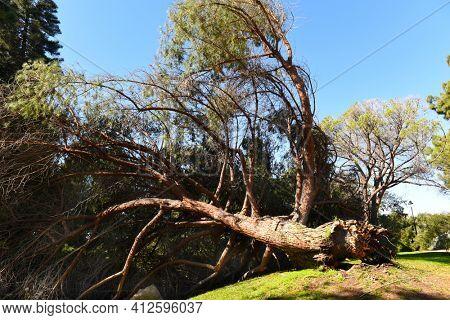 Fallen pine tree at the Fullerton Arboretum