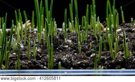 Oat Grass Growing On Black Background. Germination And Growth Of Grass