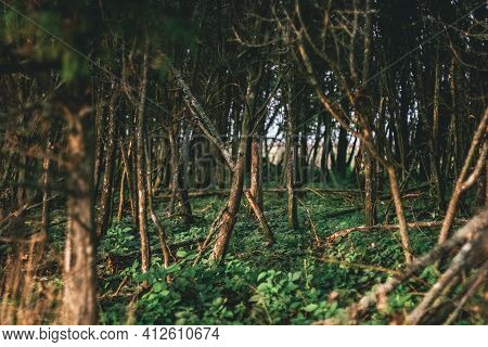 Magical Fairytale Forest .green Tree Spooky Mystical Forest Background, Beautiful View Of Fresh Pine