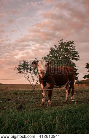 Young Beautiful Brown Cow With Cute Face Looking And Posing To Camera On Meadow With Hills On Backgr