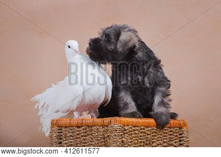 Puppy Miniature Schnauzer, Gray Color, Is Interested In The White Pigeon And Climbs To Him Kissing A