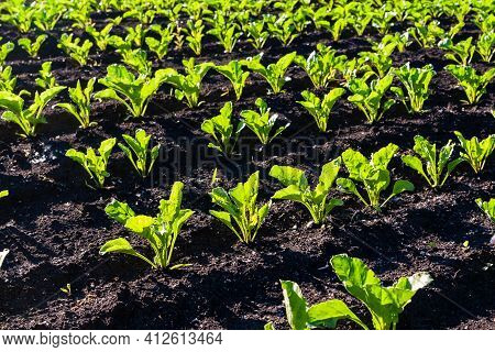 Rows Of Young Sugar Beets Lit By The Sun. Sugar Beet Cultivation.