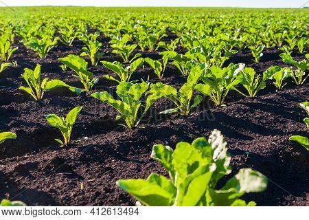 Tidy Rows Of Sugar Beet Sprouts In An Agricultural Field. Young Shoots Of Sugar Beet, Illuminated By